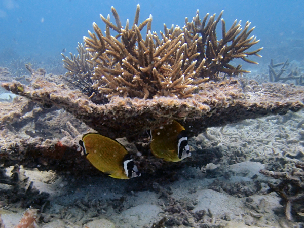 A pair of Butterfly fish (Chaetodon spp.), Twins, Koh Tao