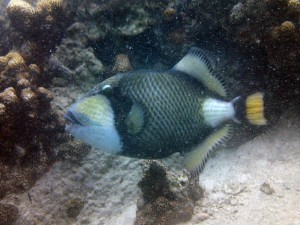 "The devil of Koh Tao: the Titan Triggerfish (Balistoides viridescens). One of these buggers attacked me when I was learning to dive here in 2004. During breeding season these guys are incredibly territorial and attack hapless divers that enter their ""zone"". Twins, Koh Tao"