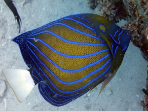 Angelfish (Pormcanthus spp.) , White Rock, Koh Tao