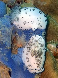 A pair of Jorunna nudibranchs (Jorunna funebris). White Rock, Koh Tao.