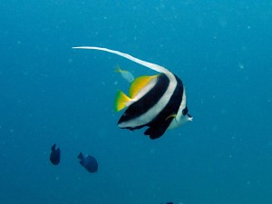 The regal looking Bannerfish (Heniocus acuminatus), named for its magnificent flowing dorsal fin. White Rock, Koh Tao