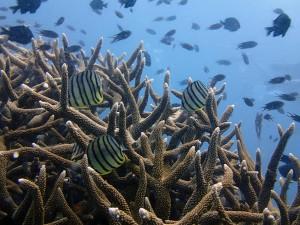 Butterflyfish (Chaetodon spp) in Staghorn coral, Japanese Garden, Koh Tao
