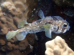 Big sad eyes. A Porcupinefish (Diodon spp.), Japanese Garden, Koh Tao.