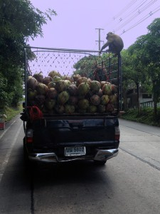 "The monkeys on Koh Samui ""catch"" these trucks around the island. How's that for adaptive behaviour?"