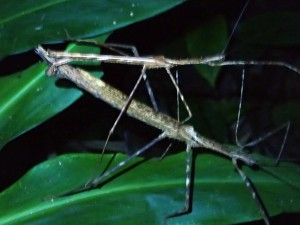"A male (smaller) and female stick insect ""inflagrante"" on the night hike through the jungle. I apologised for the interruption."