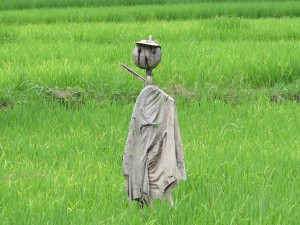 A scarecrow watches over the rice crop.