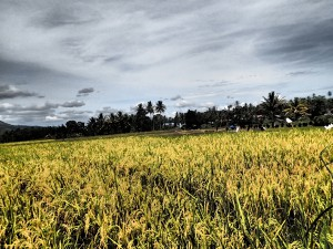 Golden fields of rice. You know you are in Asia when this sight greets you around every corner.