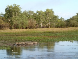 A medium sized female estuarine (salt water) crocodile at Yellow Water. That was close enough for this little black duck, thank you.