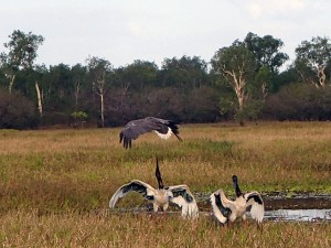 The Sea Eagle takes care not to get caught on the Jabiru's strong sharp beak.