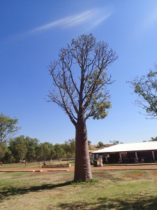 A bottle tree with a flock of galahs on a cattle station. How Australian is that?