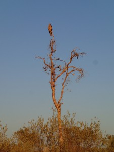 A falcon sits on top of a tree keeping an eye out for tasty prey