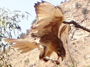 Watching the spectacular bird demonstration at the Desert Park in Alice Springs. This is a Black Kite having a snack in mid-air... snacks on the go, my kind of bird