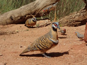 Spinifex Pigeions and Zebra Finch (Desert Park, Alice Springs)