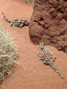 Despte looking pretty hard, I didn't find any of these awesome looking lizards in the wild. Thorny Devils, Desert Park, Alice Springs.