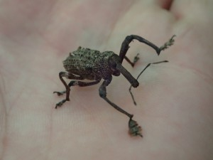 Awesome looking bug found at Point Plomer, I reckon it's a species of weevil, what say you?